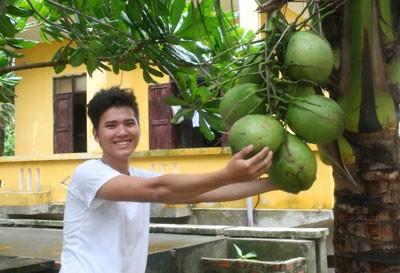 Cây dừa ở đảo Phan Vinh đã có quả.