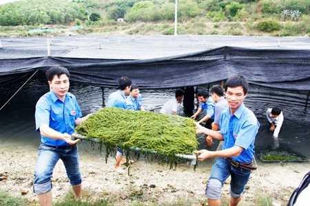 Thanh niên giúp dân thu hoạch rong. Ảnh: BKH