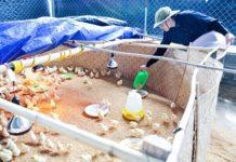 Lứa gà thứ 5 được nuôi theo mô hình gà sạch của chị Thu.
